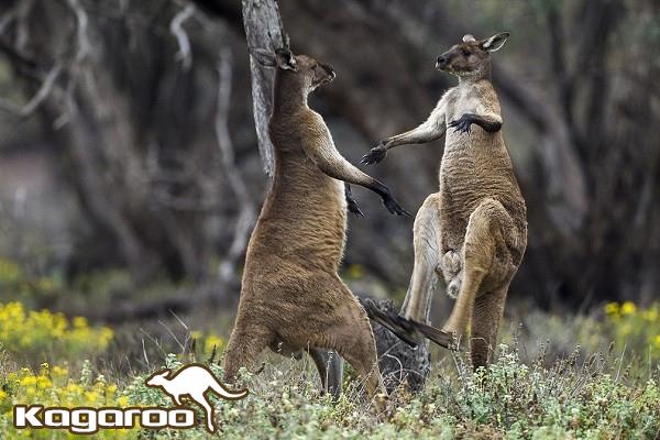 chuột túi, con chuột túi, chuột túi kangaroo, chuột kangaroo, chuột túi sống ở đâu, chuột túi ăn gì, kangaroo chuột túi, chuột túi con, chuột túi úc, con chuột túi kangaroo, chuột túi giao phối, chuột túi kanguru, chuột túi ở úc, chuột túi kangaroo là biểu tượng của nước nào, hình ảnh chuột túi kangaroo, kanguru, kăng gu ru, kangaroo con, con kangaroo, kangaroo đỏ, kangaroo úc, kangaroo sống ở đâu, chuot tui
