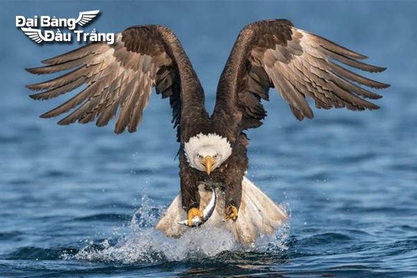 đại bàng đầu trắng, đại bàng mỹ, dai bang trang, đại bàng hói, biểu tượng đại bàng mỹ, tập tính của đại bàng, biểu tượng của nước mỹ, bald eagle, biểu tượng đại bàng, đại bàng đầu trọc